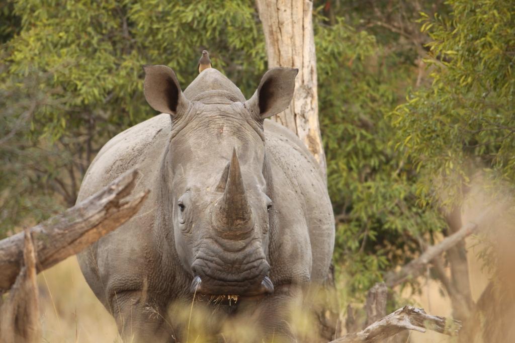 rhino-andrew